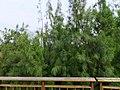 木麻黃 Casuarina equisetifolia L. - panoramio.jpg