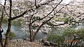 杭州 西湖 太子湾景区(马年樱花) - panoramio (7).jpg