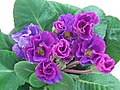 歐洲報春-半重瓣 Primula vulgaris Blue Parade -香港北區花鳥蟲魚展 North District Flower Show, Hong Kong- (23562565743).jpg