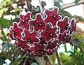 毬蘭 Hoya carnosa Red -紐西蘭 Tauranga Robbins Park, New Zealand- (45672336975).jpg