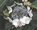 澤繡球(澤八仙) Hydrangea serrata -香港公園 Hong Kong Park- (9255187454).jpg