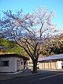 白石住宅の唯一の桜 - panoramio.jpg
