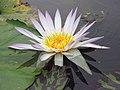 睡蓮 Nymphaea Madame Ganna Walska -深圳洪湖公園 Shenzhen Honghu Park, China- (9198101059).jpg