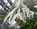 筍蘭 Thunia alba -哥本哈根大學植物園 Copenhagen University Botanical Garden- (36121245154).jpg