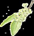花椒sichuanpepper.png