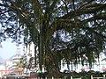 荔波-城中的古榕树 - panoramio.jpg