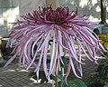 菊花(鉤環型) Chrysanthemum morifolium Curlies-tubular-series -香港圓玄學院 Hong Kong Yuen Yuen Institute- (9200949666).jpg