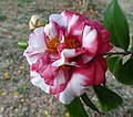 華東山茶-重瓣牡丹型 Camellia japonica Double Peony Form -深圳園博園茶花展 Shenzhen Camellia Show, China- (9193426710).jpg