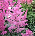 落新婦 Astilbe hybrida -荷蘭 Keukenhof Flower Show, Holland- (9200949496).jpg