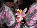 蛤蟆秋海棠-雌花 Begonia rex 'Red Tango' -香港公園 Hong Kong Park- (37233580076).jpg