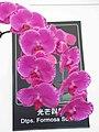 蝴蝶蘭-光芒四射 Phalaenopsis Formosa Sunrise -香港花展 Hong Kong Flower Show- (9193447640).jpg