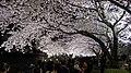 野川の桜 ライトアップ 2012.04.10 20-43 - panoramio.jpg