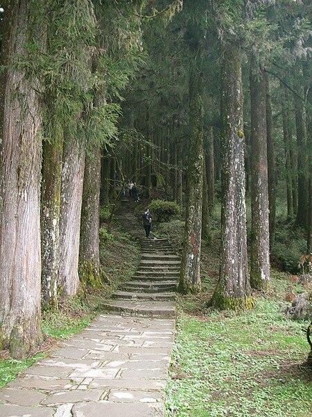 阿里山柳杉人造林。圖片來自:維基百科。