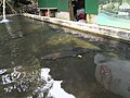 鱘龍魚養殖池 Sturgeon Culture Pond - panoramio.jpg