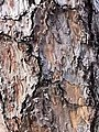 黑松 Pinus thunbergii 20211007185113 06.jpg