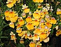 龍面花 Nemesia Serengeti Yellow -蘇格蘭 Pitlochry, Scotland- (31490098677).jpg