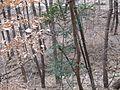 죽곡산성길에 광나무 - panoramio.jpg