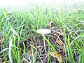 -2018-09-13 unidentified Toadstool fungi found in long grass, Loop Road, Trimingham (1).JPG