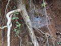 ... tunnel sheet spider web (4159795140).jpg