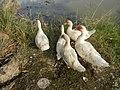 02590jfGatbuca Ducks Chapel Halls Gugo Calizon Calumpit Bulacan Roadsfvf 06.JPG