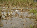 0298jfLands Culianin Ducks Plaridel Bulacan Cattle Fieldsfvf 19.JPG