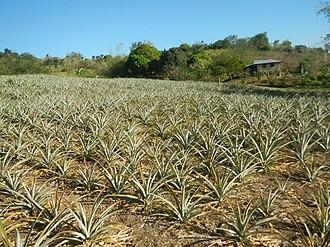 Doña Remedios Trinidad, Bulacan - Pineapple plantation in Brgy. Talbak