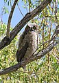 0430 great horned owlett munsel odfw (5805689247).jpg