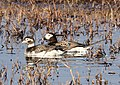 056 - LONG-TAILED DUCK (6-16-2016) barrow, alaska -04 (27599676433).jpg