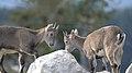 05 Alpine Ibex Photo by Giles Laurent.jpg