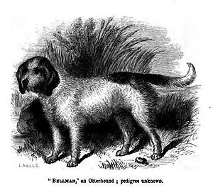 Otterhound - An Otterhound, published in 1859