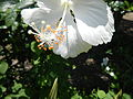 09335jfHibiscus cultivarfvf 02.JPG