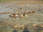 09489jfRoads Rice Domesticated ducks Paligui Candaba Pampangafvf 22.JPG