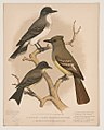 1. King bird. 2. Great crested flycatcher. 3. Pewee flycatcher or phœbe LCCN2017660743.jpg