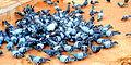 100 Pigeons.JPG