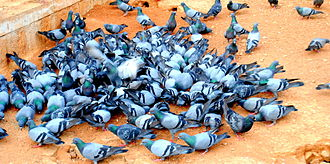 Domestic pigeon - Group of pigeons