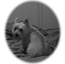 Aging in dogs - Wikipedia