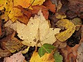 170927-FS-Superior-SAR-leaves on ground (37325046602).jpg