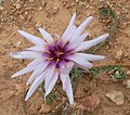 18)flore d'El kantara(Algerie).jpg