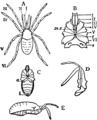 1911 Britannica-Arachnida-Stylocellus sumatranus.png