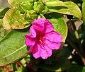 2006-10-18Mirabilis jalapa02.jpg