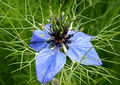 2007-10-25Nigella damascena 09.jpg