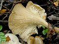 2009-02-09 Clitocybula dusenii (Bres.) Singer 36486.jpg
