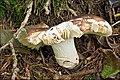 2010-09-06 Russula integra (L.) Fr 105648.jpg