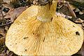 2010-10-07 Lactarius scrobiculatus (Scop.) Fr 119556.jpg