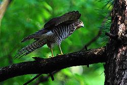 http://upload.wikimedia.org/wikipedia/commons/thumb/0/0c/20100710_tumi_nagoya_03.jpg/250px-20100710_tumi_nagoya_03.jpg