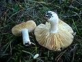 2012-10-21 Russula cessans A. Pearson 319996.jpg