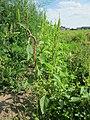20120903Amaranthus retroflexus1.jpg