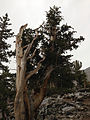 2014-09-15 14 00 40 A Bristlecone Pine between 3,100 and 3,300 years old along the Bristlecone Trail in Great Basin National Park, Nevada.JPG