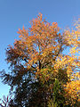 2014-11-02 15 55 51 Sweet Gum during autumn along Terrace Boulevard in Ewing, New Jersey.JPG