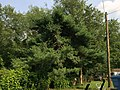 2015-07-05 16 49 34 An Eastern White Pine about 3 years after being topped along Terrace Boulevard in Ewing, New Jersey.jpg